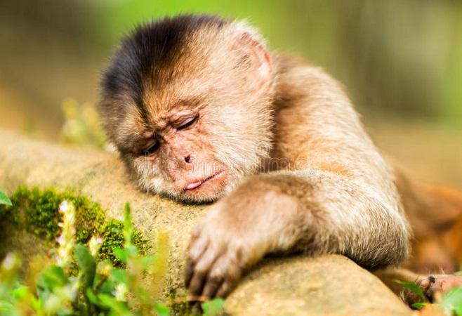 Lacen investiga febre amarela em micos achados mortos em Itabuna