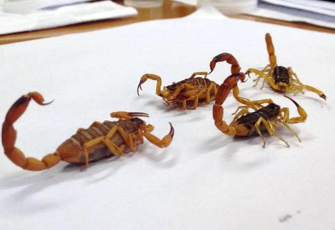 Sesab confirma aumento de 50,6% no ataque de escorpiões em três anos