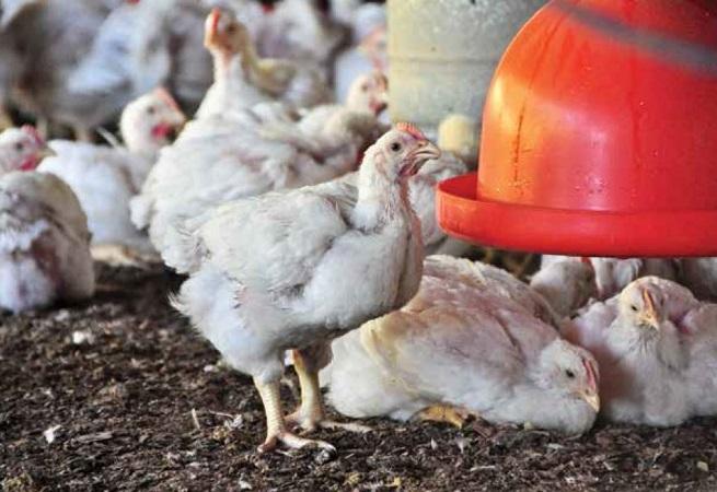 OMS alerta para aumento de casos da gripe aviária H5N6