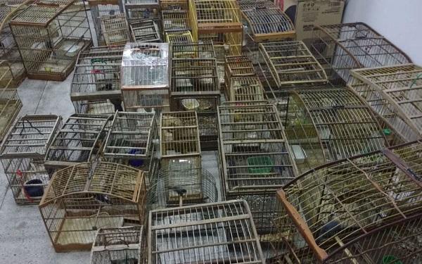 Operação do Inema apreende 500 pássaros em Sr. do Bonfim