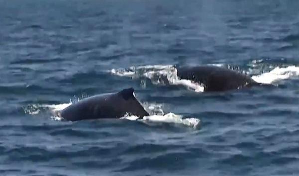 Baleias jubarte são vistas em passeios de barco em Praia do Forte
