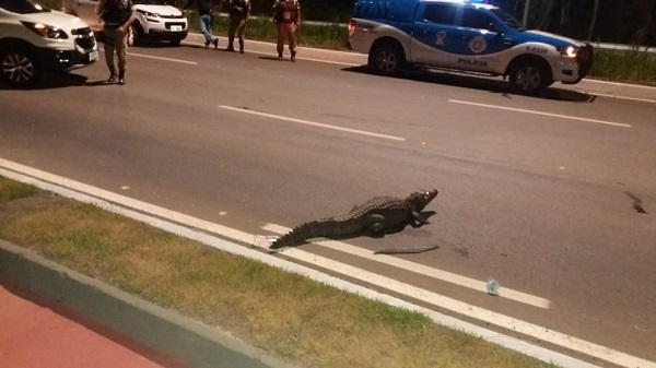 Guarda Municipal captura jacaré de 2m próximo ao Parque Tecnológico da Bahia