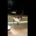 """Vaca """"louca"""" derruba motociclista em Vitória da Conquista; assista"""